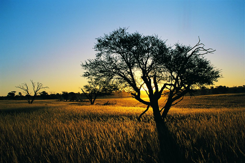 kalahari-landscape-and-camelthorn-in-veld-at-sunset-kalahari-gemsbok-national-park-south-africa
